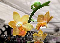 Орхидеи. Сорт Phal.(Yaphon Lobispis-Tying Shin Cupid)' Yaphon, размер 2.5 растит цветоносы, фото 1