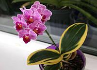 Орхидеи, размер 2,5 без цветов Сорт Phal. Sogo Vivien 'SOGO F858', фото 1