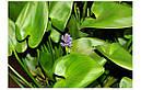 Понтедерия сердцевидная (Pontederia cordata), фото 3
