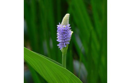 Понтедерия сердцевидная (Pontederia cordata)