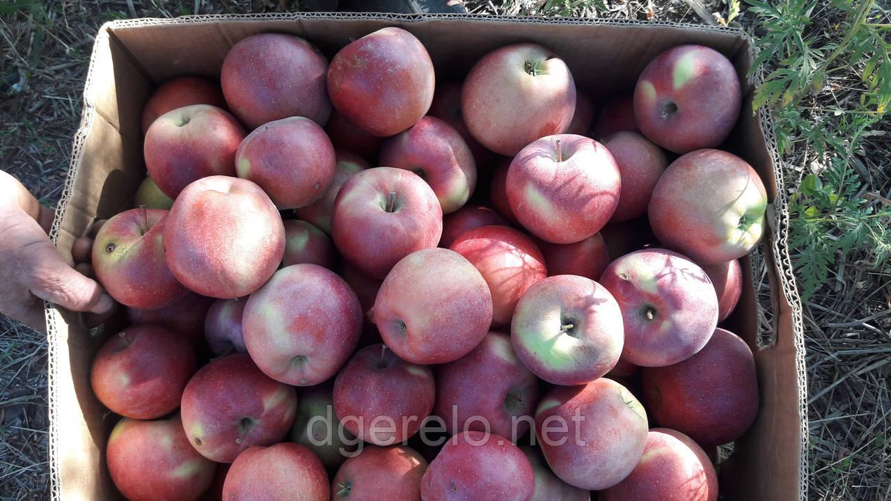 Яблоки зимние и осенние сорта.