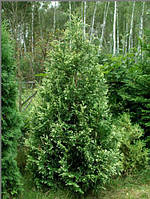 Туя западная  Смарагд Вариегата Smaragd variegata