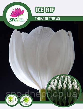 Тюльпан триумф Ice Rif