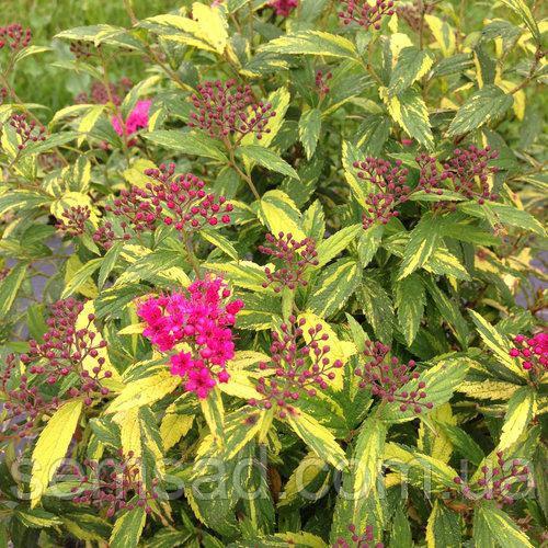 """Спирея японская Вариегата """" Painted Lady"""" \  Spiraea japonica Painted Lady ( саженец ЗКС) НОВИНКА"""
