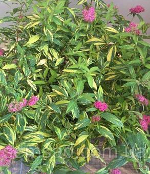 """Спирея японская Вариегата """" Painted Lady"""" \  Spiraea japonica Painted Lady ( саженец ЗКС) НОВИНКА, фото 2"""