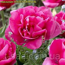 Тюльпан многоцветковый SUNSET TROPICAL  10/11