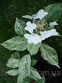 "Гортензия метельчатая Вариегата "" Шикоку Флэш"" \ Hydrangea paniculata Shikoku Flash ( саженцы 1.5года) Новинка"