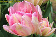 Тюльпан многоцветковый Peach  Blossom (Пич Блоссом)  10/11