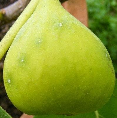 Инжир Закавказский зеленый
