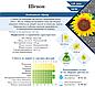 Семена подсолнечника под гранстар Шенон 110 дн. устойчевый к 7 расам заразихи (новинка 2018 г.!) , фото 2
