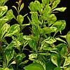 Барбарис Тунберга Повоу / Powwow(контейнер 3л, размер растения 25--35см)
