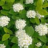 Спирея березолистная(контейнер 3л, размер растения 20--30см)