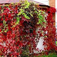 Виноград девичий пятилистный(контейнер 1л, размер растения 10--20см)