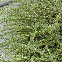 Кизильник горизонтальный(контейнер 3л, размер растения 20-25см)