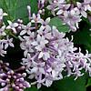 Сирень Венгерская(контейнер 3л, размер растения 20--25см)