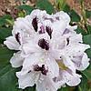 Рододендрон Кальсап / Calsap(контейнер 5л, размер растения 20-30см)