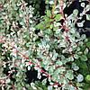 Барбарис Тунберга Сильвер Бъюти / Silver Beauty(контейнер 1л, размер растения 10--15см)