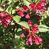 Вейгела гибридная Невпорт Ред / Newport Red(контейнер 3л, размер растения 20-30см)