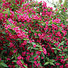 Вейгела цветущая Боскуп Глори / Boskoop Glory(контейнер 3л, размер растения 25-30см)