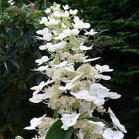 Гортензия метельчатая Тардива / Tardiva(контейнер 1л, размер растения 15--21см)