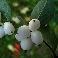 Снежноягодник белый(контейнер 3л, размер растения 20-15см)
