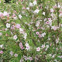 Вейгела цветущая Сплендид / Splendid(контейнер 3л, размер растения 20--30см)
