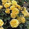 Роза плетистая Голден Шауерс / Golden Showers(контейнер 4л, размер растения см)