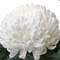 Хризантема Милка White