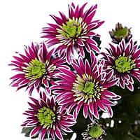 Хризантема Сабо Violet саженец (веточная средняя), фото 1