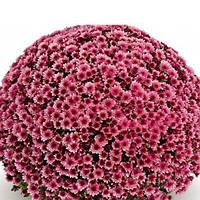 Хризантема Накато Pink саженец (горшечная мелкоцветная ранняя (мультифлора)), фото 1
