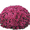 Хризантема Белго Лилас Violet саженец (горшечная мелкоцветная ранняя (мультифлора))