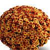 Хризантема Кателли Bronze саженец (горшечная мелкоцветная ранняя (мультифлора))