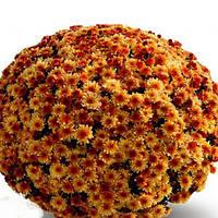 Хризантема Кателли Bronze саженец (горшечная мелкоцветная ранняя (мультифлора)), фото 1