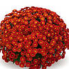 Хризантема Пышка Red саженец (горшечная мелкоцветная ранняя (мультифлора))