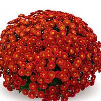 Хризантема Пышка Red саженец (горшечная мелкоцветная ранняя (мультифлора)), фото 1