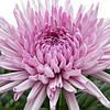 Хризантема Анастасия Pink саженец (крупноцветная средняя)