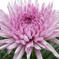 Хризантема Анастасия Pink саженец (крупноцветная средняя), фото 1