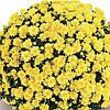 Хризантема Терана Yellow рассада (горшечная мелкоцветная средняя (мультифлора))