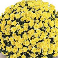 Хризантема Терана Yellow рассада (горшечная мелкоцветная средняя (мультифлора)), фото 1