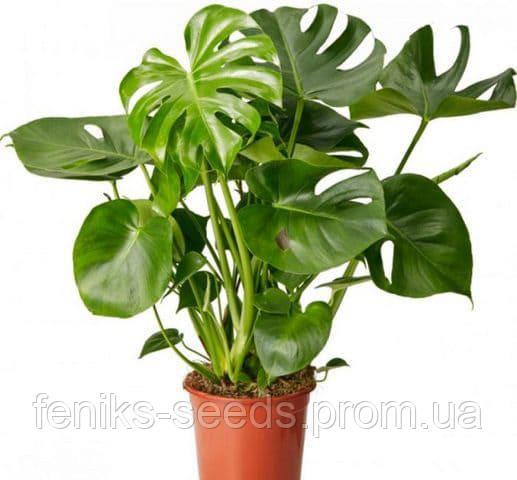 Монстера Деликатесная молодое растение около 1м.
