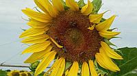 Технологічна схема вирощування соняшнику сербської селекції