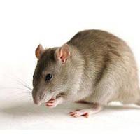Охота на крыс: что нужно знать о вредителях