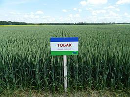 Насіння м'якої озимої пшениці Тобак (1 репродукція)