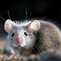 Уничтожение мышей в домашних условиях
