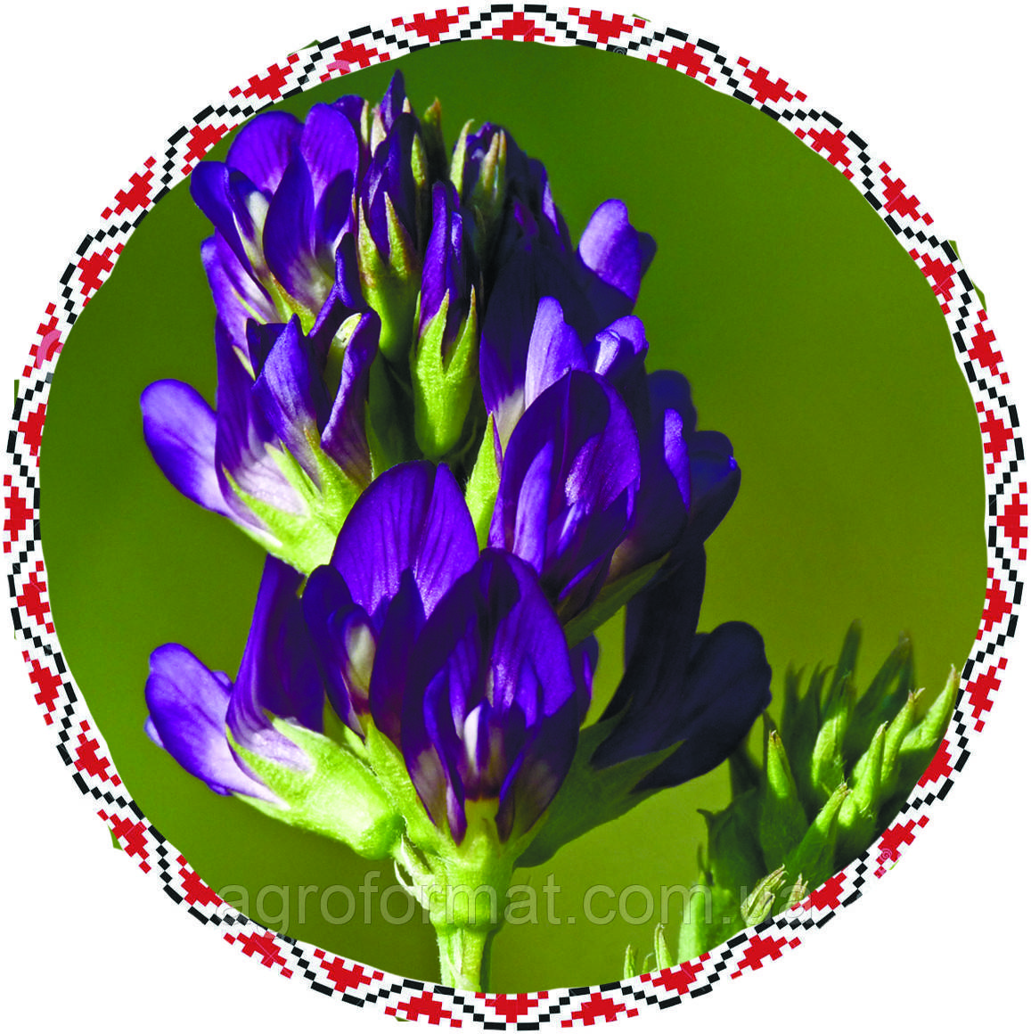 Семена люцерны  (магниченная) от 1 кг