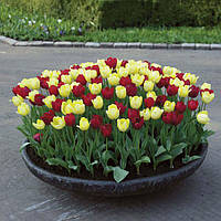 Арт-набор Красно-жёлтый, 7 луковиц тюльпанов