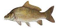 Рекомендации по кормления рыбы в прудовых хозяйствах гранулированным комбикормом