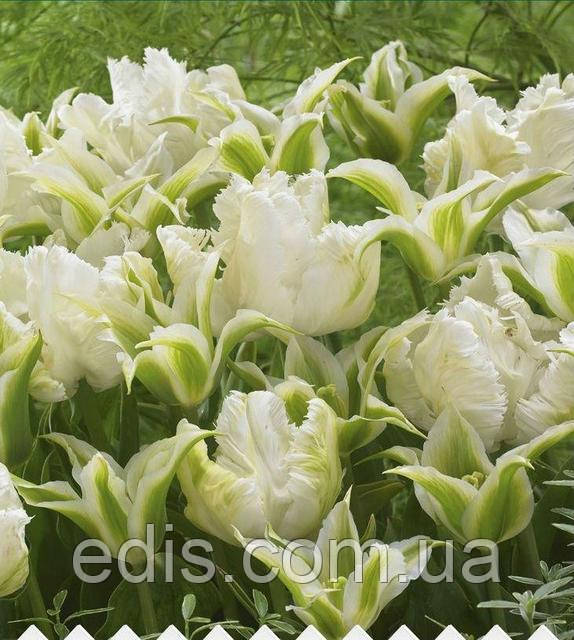 Красивое сочетание белых тюльпанов разных по форме цветка: Арт-набор Белый нефрит