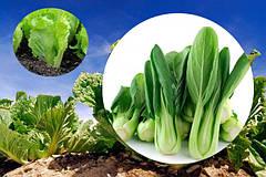 Выращивание салата, пекинской и китайской капусты – семена или рассада?