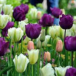 Выбираем и сажаем Тюльпаны: не как-нибудь, а красиво!